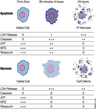 Mechanisms of cell death can be determined by measuring different markers of cell viability and apoptosis in vitro.
