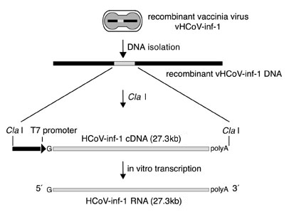 Schematic representation of the preparation of vaccinia virus vHCoV-inf-1-derived template DNA and in vitro transcript.