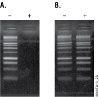 Gel image of purified and unpurified PCR products.