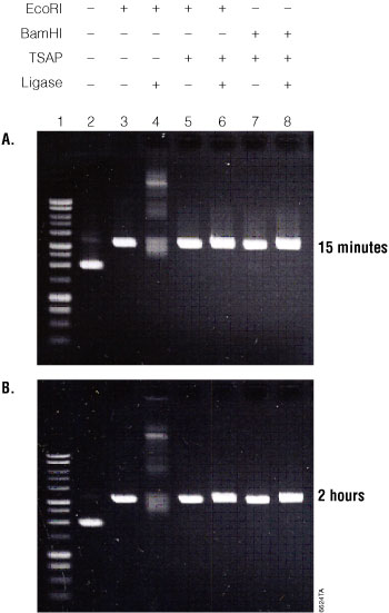 Gel analysis of the Streamlined Restriction Digestion, Dephosphorylation and Ligation reaction using Promega restriction enzymes and digestion buffers.