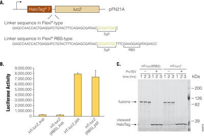 Effects of linker sequence in Flexi-RBS type clones on activities of HaloTag-fused luciferase.