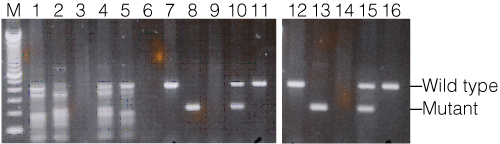 Results of mouse genotyping with the BDNF gene.
